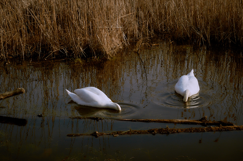 Swans 11 apr 2015.jpg
