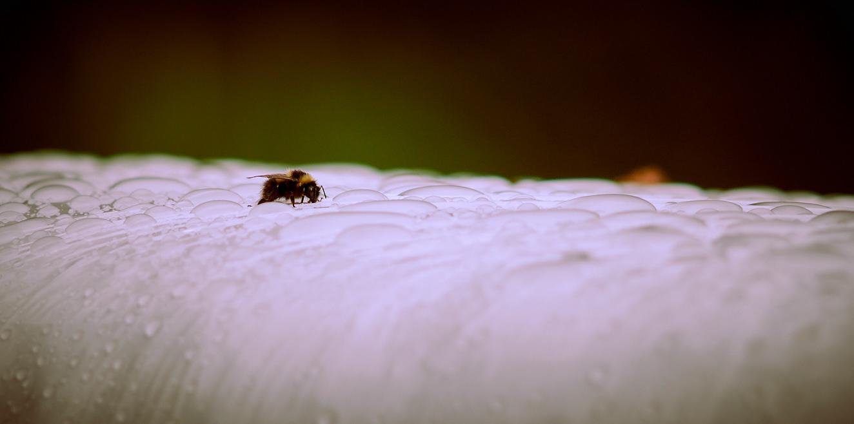 bumblebee-1-aug-2015