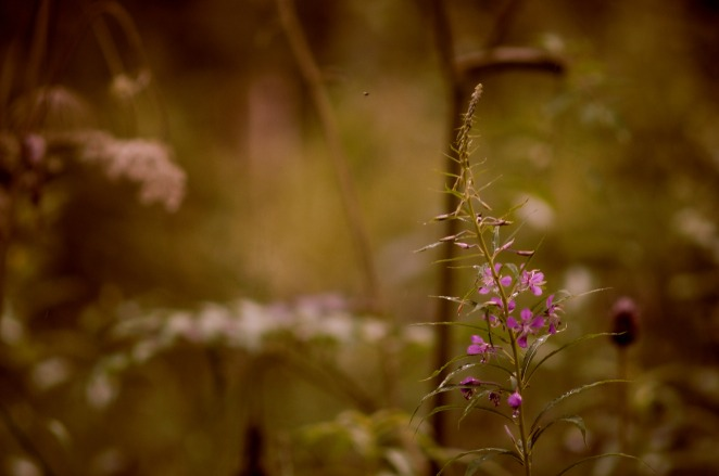 fireweed-1-aug-2015