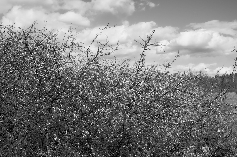 shrubbery-bw-3-maj-2015