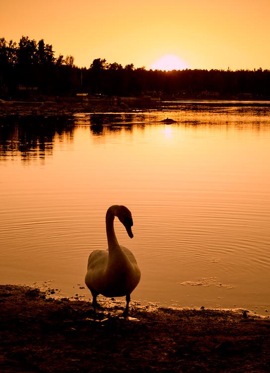 Swan 05 juni 2016