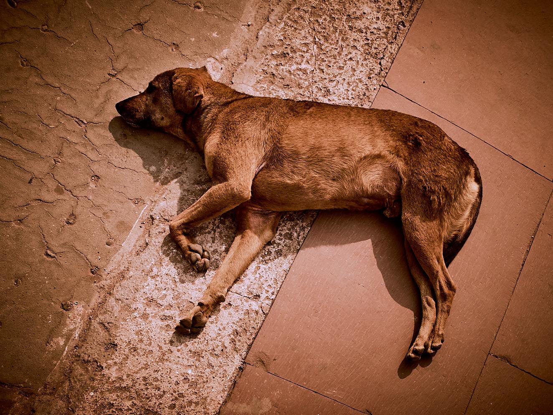 Old Delhi Dog 3 januari 2017 1