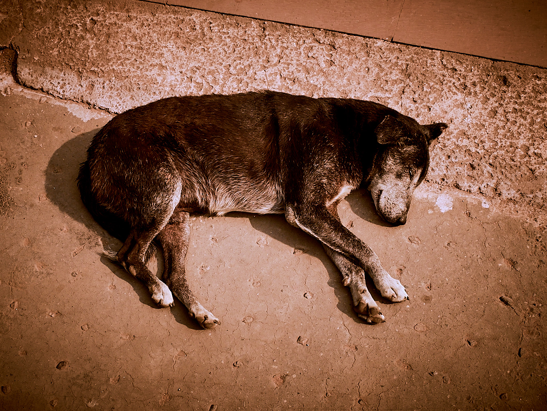 Old Delhi Dog 3 januari 2017 2